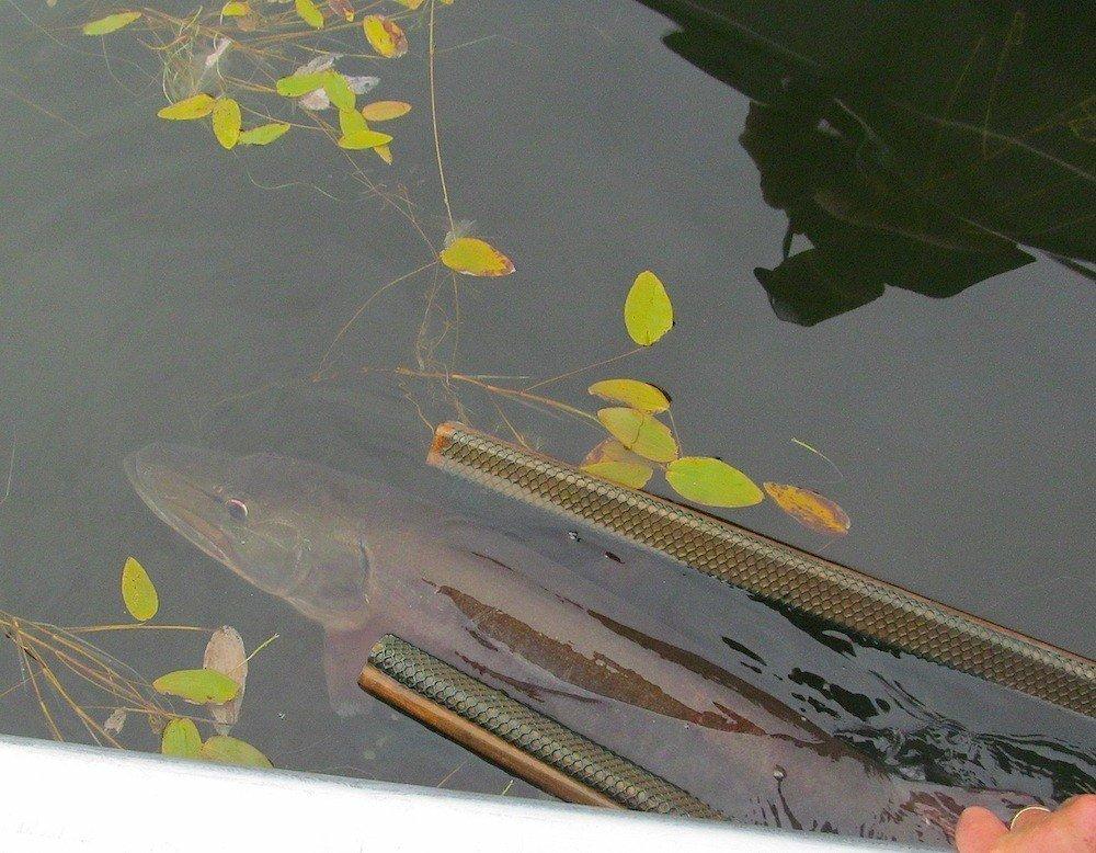 Muskie & Tiger Musky Fishing in northern Ontario