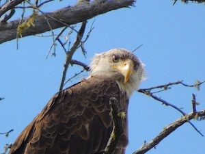 Amazing Bald Eagle Photo While Fishing at Fireside Lodge in Ontario Canada