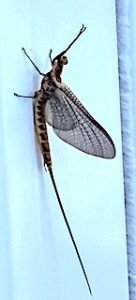 First Sign of The May Fly Hatch at Fireside Lodge in Ontario Canada