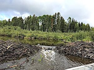 Fishing Creek Accessible Lakes in Canada can Be Challenged by Beavers
